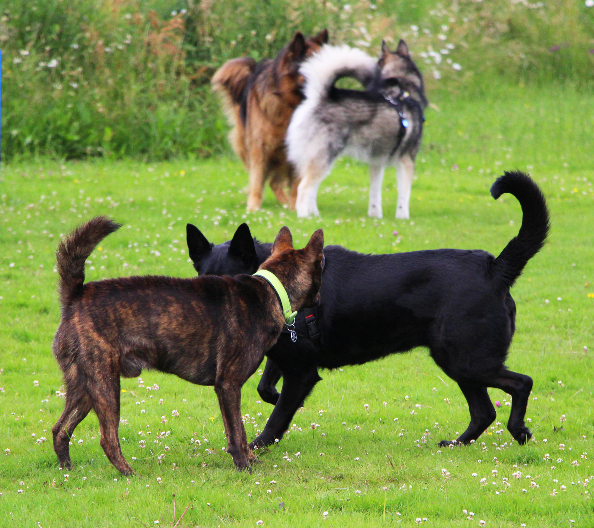 chiens sociables