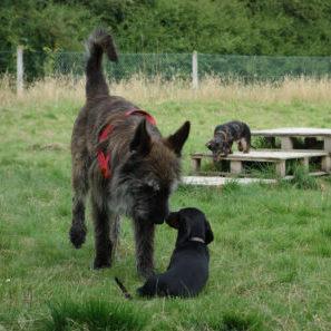 berger-picard-basset-education-canine-yvelines
